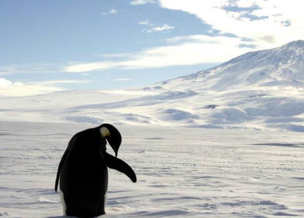 Cambio climático desvaneció segunda colonia más grande pingüinos emperador
