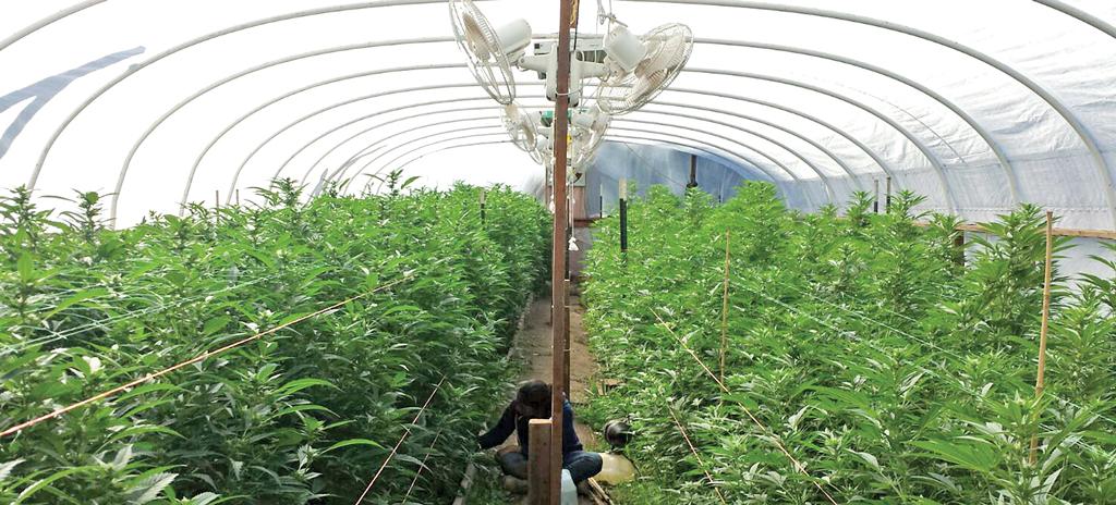 La pisca de mariguana, opción en EU; mexicanos se emplean en granjas