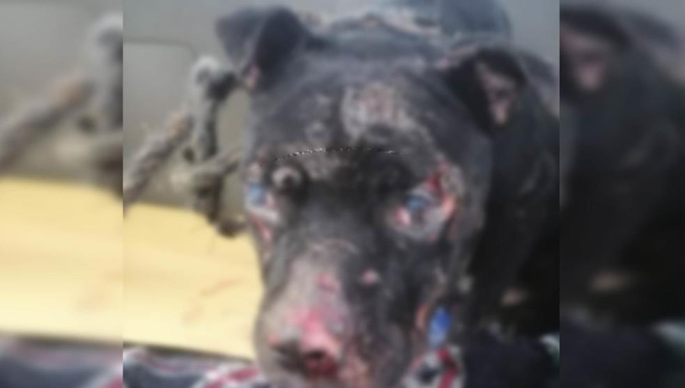 Andrés, el Pitbull que perdió la vista tras ser rociado con ácido