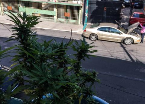 ¿Quiénes están detrás del avance para el consumo legal de la marihuana?