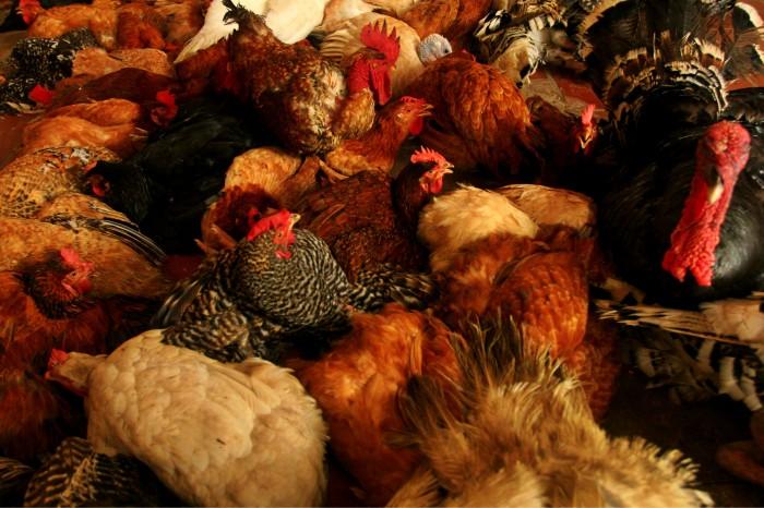 Se extinguen productores avícolas veracruzanos