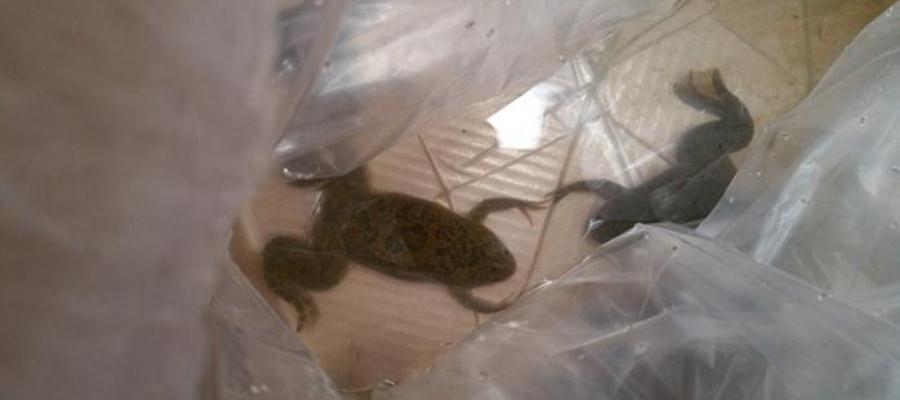 Profepa asegura 10 ranas africanas enviadas por paquetería en Veracruz