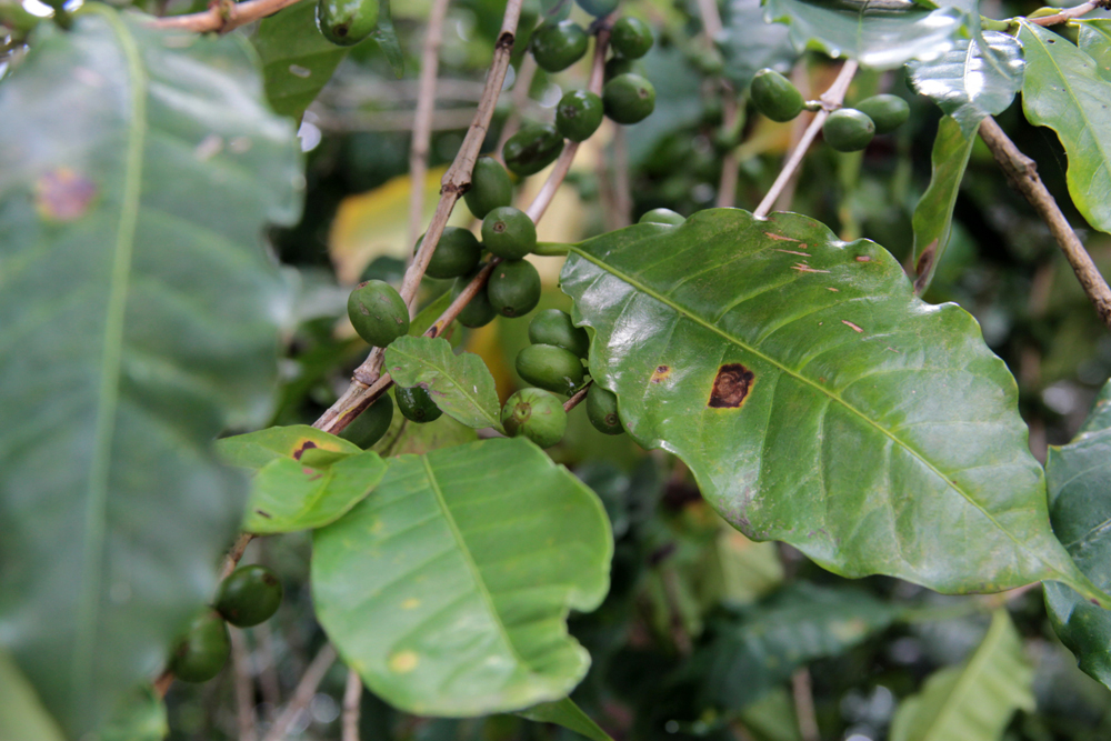 En riesgo 35 mil hectáreas de café en Huatusco por plaga de roya