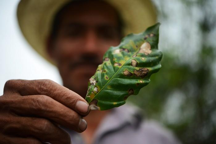 Cultivos de café en Veracruz desaparecen o tienen daño por roya