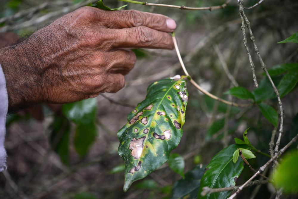 El 70% de los cafetales infestados de roya en la región Córdoba