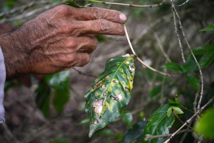Roya afectó el 30% de los cultivos de café en Veracruz: Sagarpa