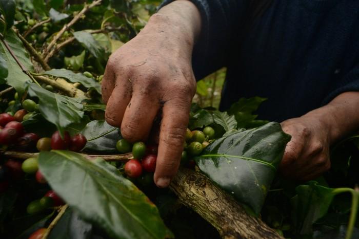 La roya dejó estragos en la producción de café