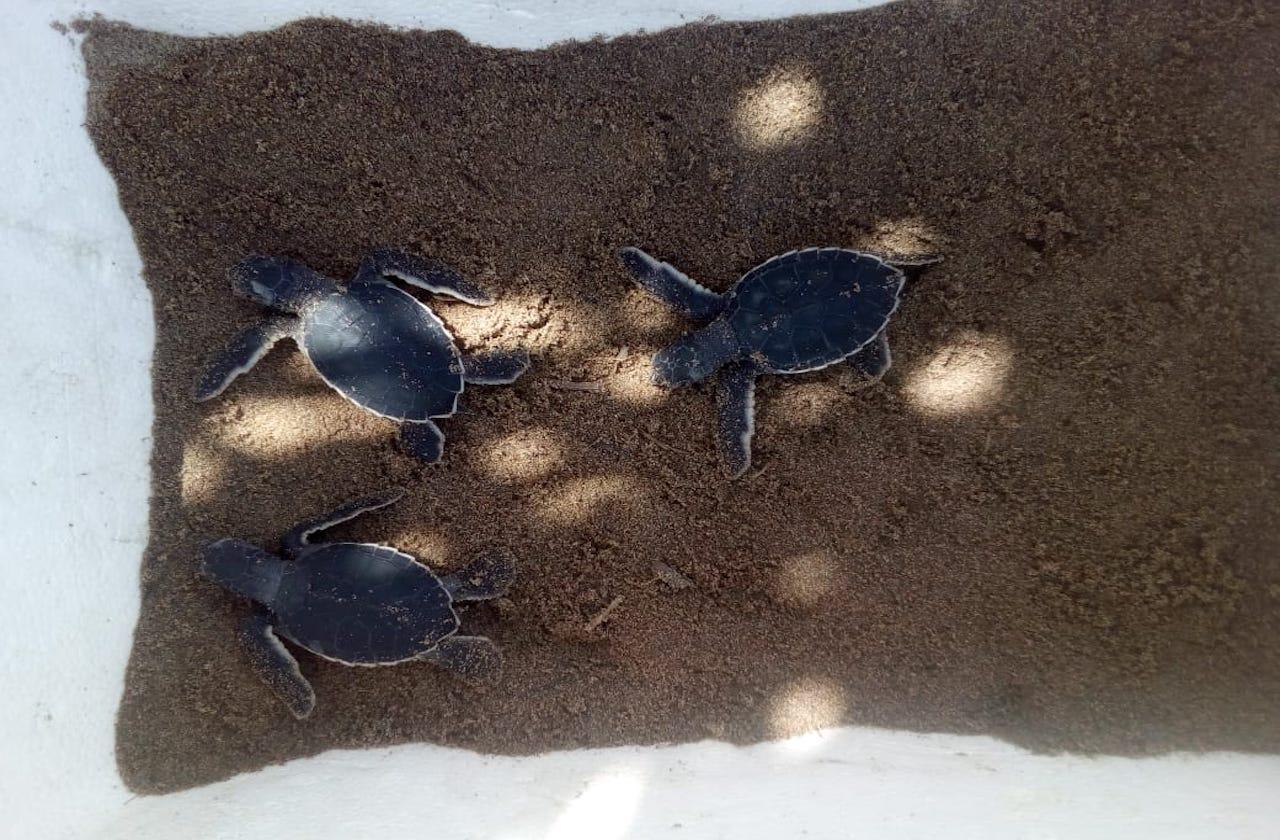 Saquean 5 nidos de tortuga marina en Coatzacoalcos