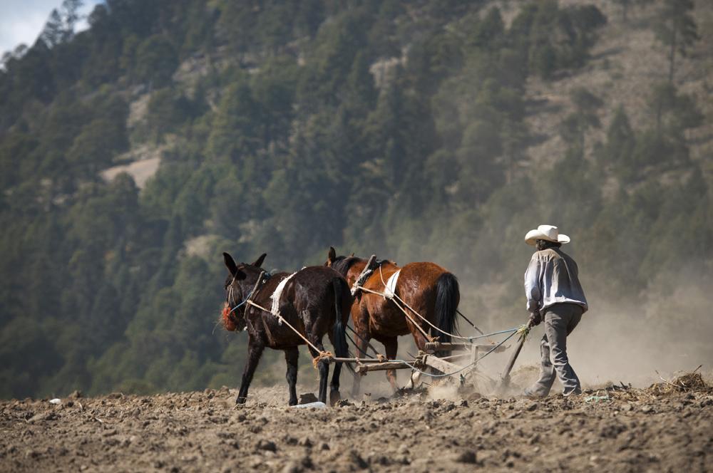 Sequía disminuye producción de maíz amarillo en Veracruz