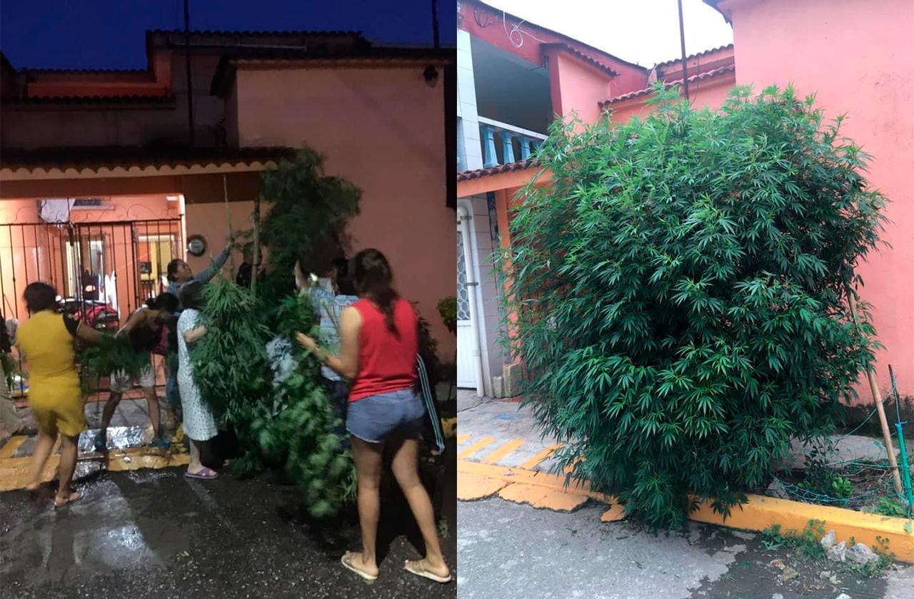 Vecinos en Orizaba defienden 'arbolito de mota' que SSP quiso tirar