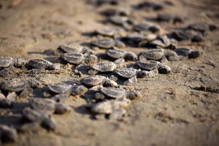 Liberan crías de Tortuga Lora en playa de Boca del Río