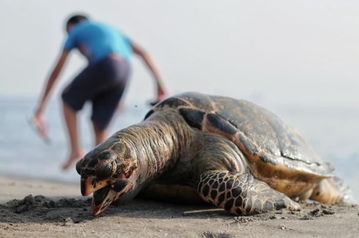 Hallan muerta tortuga carey en playa de Veracruz