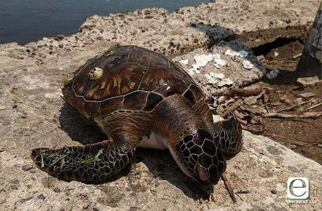 Al inicio de temporada de anidación, encuentran tortuga Carey muerta en el estero