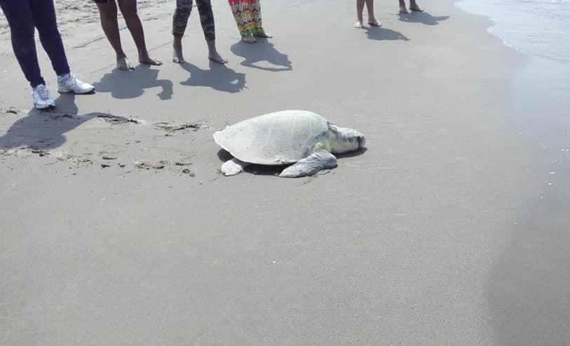 Encuentran tortuga muerta en Tecolutla; suman casi 250 en un año