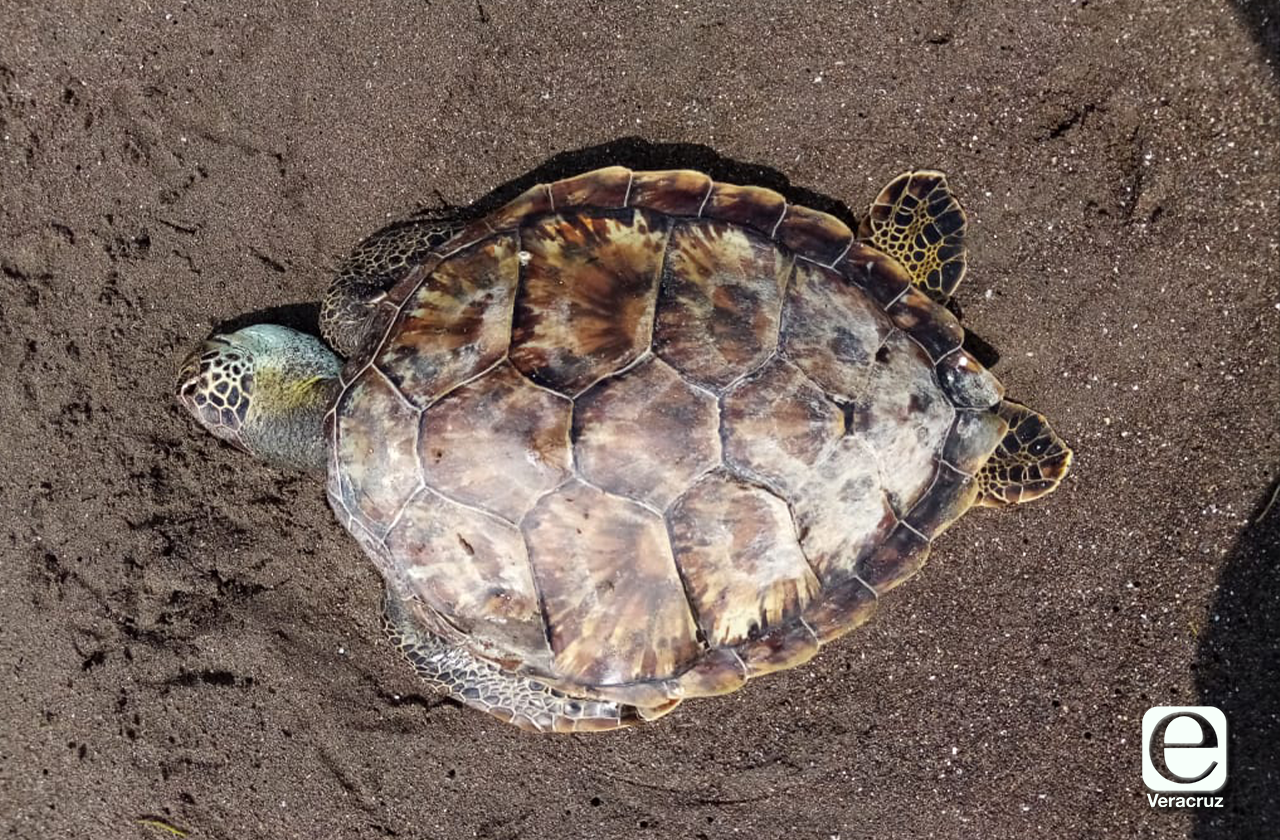 10 tortugas muertas en dos meses meses en el Parque Nacional Sistema Arrecifal Veracruzano