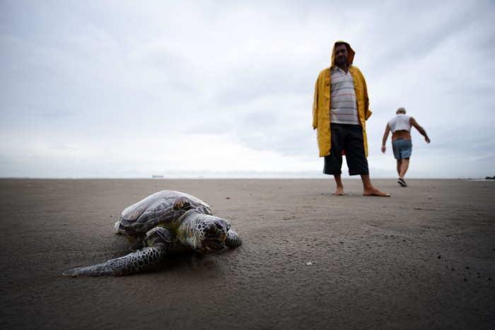 Hallan otra tortuga muerta, la segunda esta semana