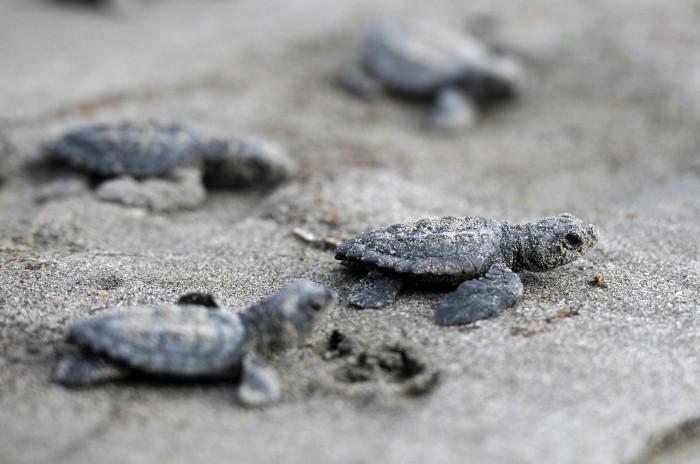 Protegen 600 nidos de tortuga localizados en islas veracruzanas