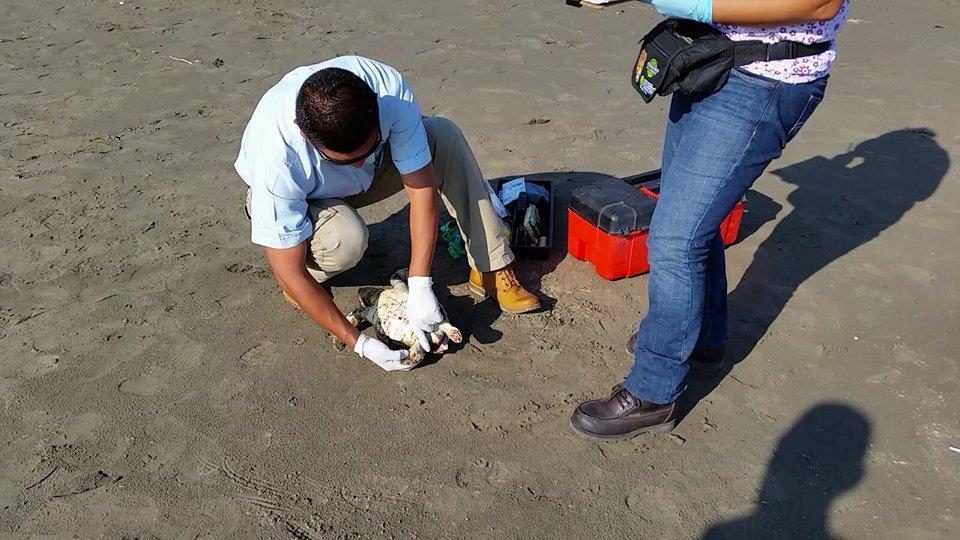 Hallan otra tortuga muerta, ahora en playa Mocambo
