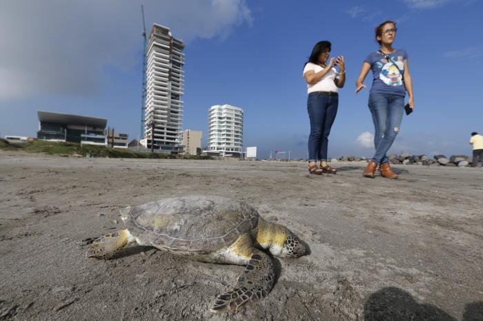 Aparece muerta otra tortuga en playa La Bamba