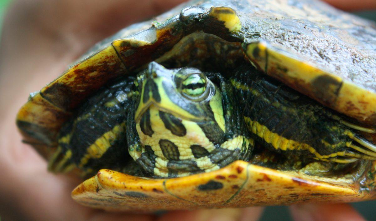 Por cruce de tortugas, piden conducir con precaución en Riviera Veracruzana