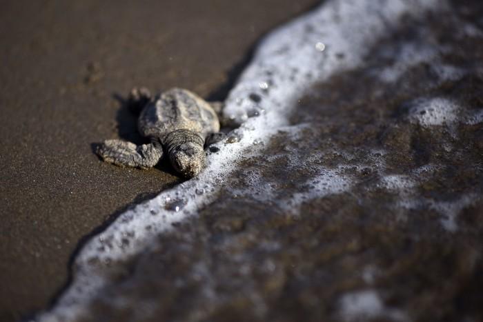 Costa Esmeralda se prepara para el arribo de tortugas