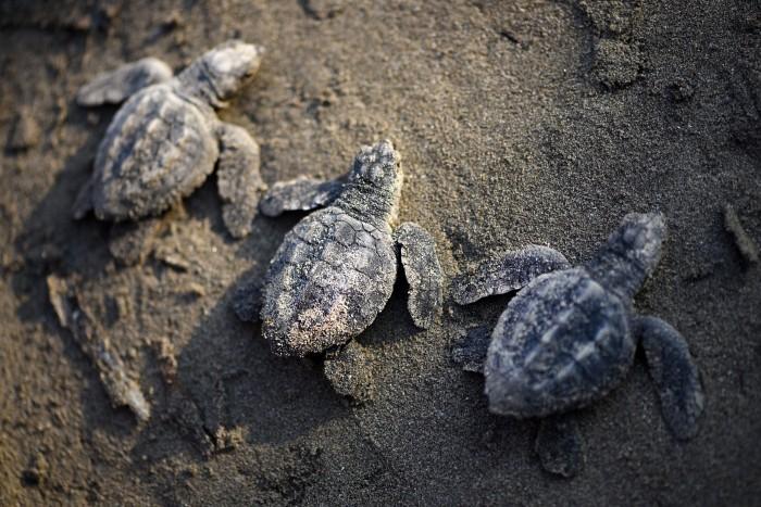 Liberan 1 mil 200 crías de tortugas en la playa Villa Mar