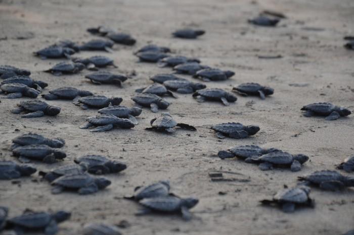 Identifican más de 10 mil tortugas marinas en el norte de Veracruz