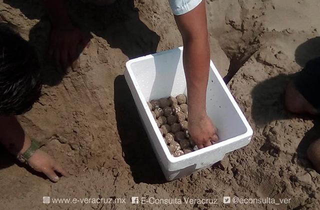 Tortugas regresan a desovar a las playas de Coatza