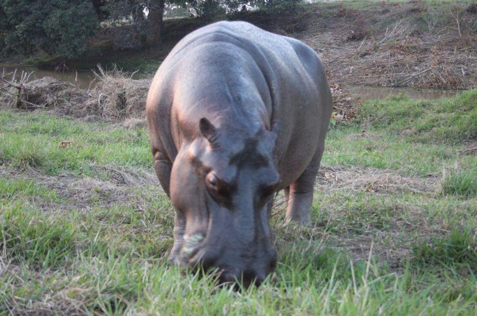 Tyson, el hipopótamo de Las Choapas fue trasladado a Orizaba