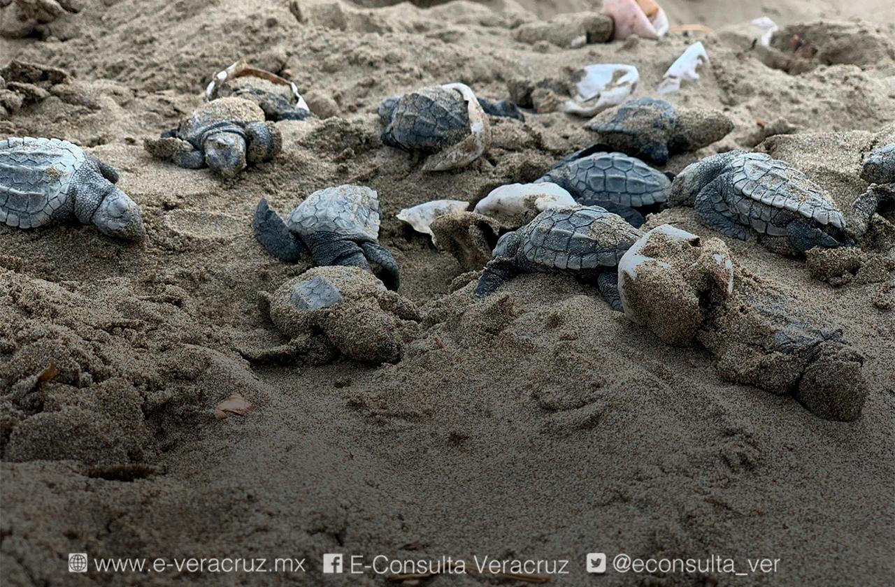 Vandalizan nido de tortugas en Coatza; solo 10 sobrevivieron