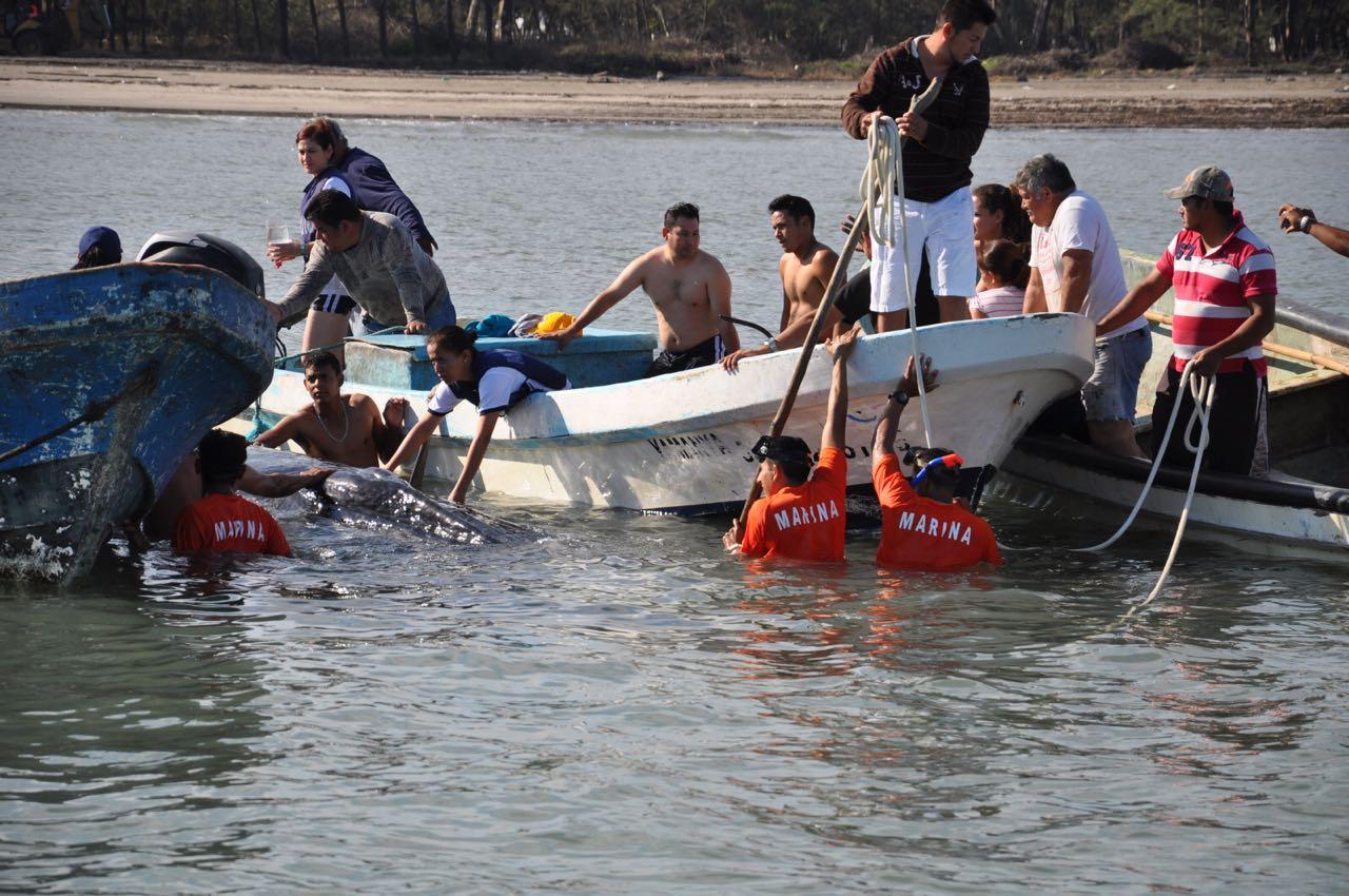 Pescadores y Semar liberan a ballena varada en Antón Lizardo