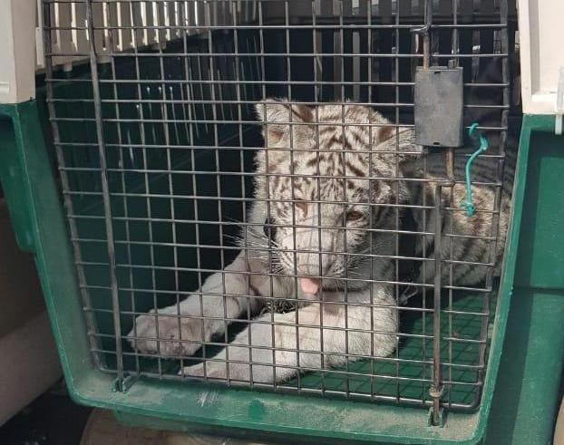 Durante cateo, FGE asegura a tigre blanco en Perote