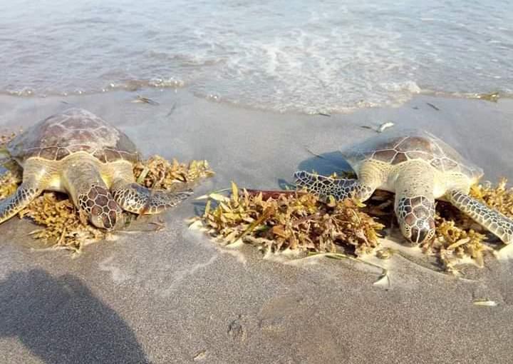 Alerta por hallazgo de tortugas muertas en playas de Veracruz