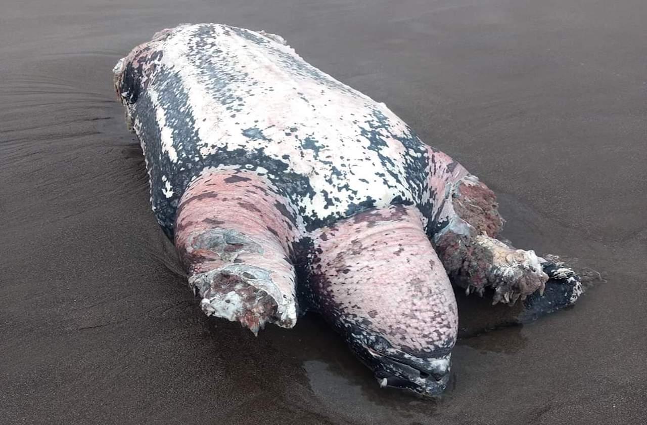 Hallan tortuga muerta en playas de la Riviera Veracruzana