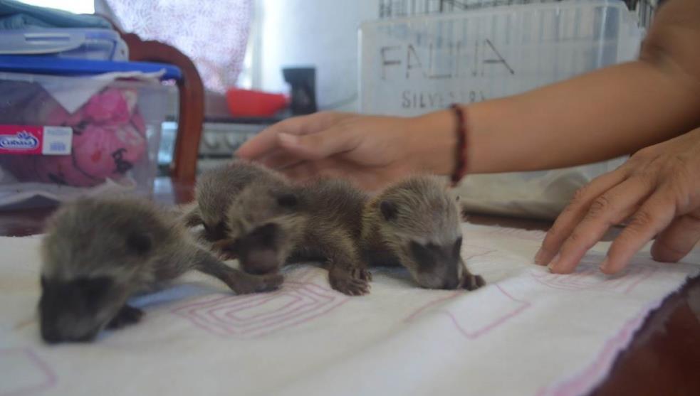Mapaches bebé son rescatados por ambientalista en Coatzacoalcos