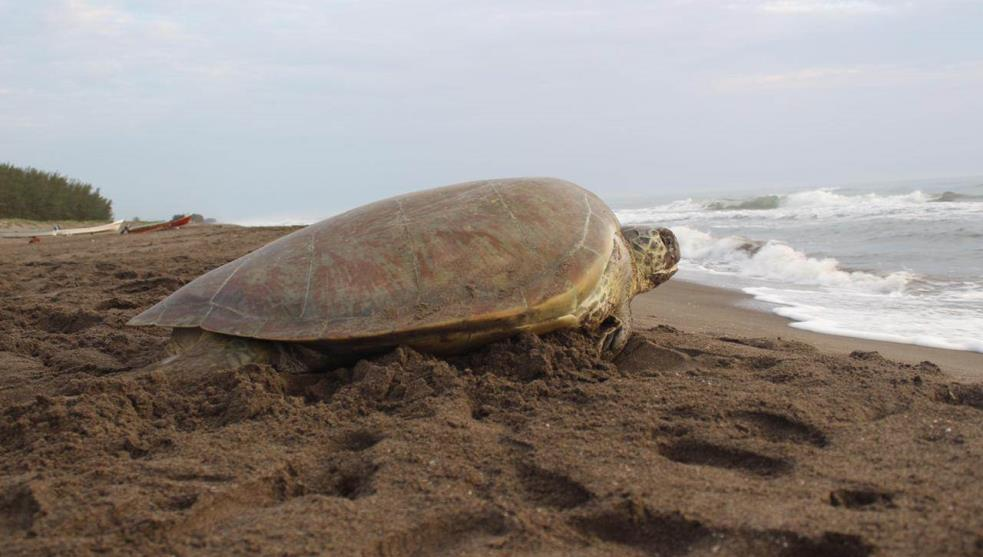 Resguardan 32 mil huevos de tortuga marina en Nautla y Vega de Alatorre