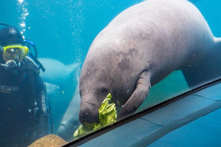Manatí en riesgo: es la especie más amenazada del Caribe
